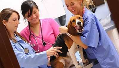 Career as Veterinary Doctor/ Veterinarian